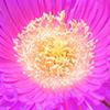 pink ocean flower